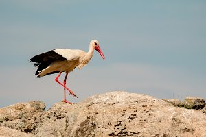Dirty stork on a big stone