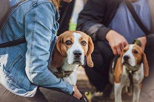 Beautiful Beagle at the Dog Show