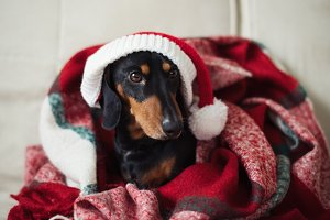 Dachshund, a dog in Santa's hat
