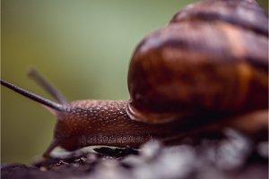 Grape snail crawling along the path