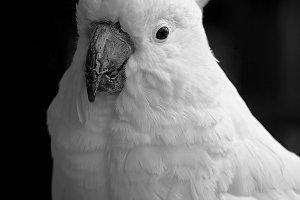 Black and White #1 - Cockatoo