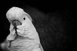 Black and White #2 - Cockatoo
