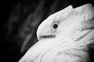 Black and White #3 - Cockatoo
