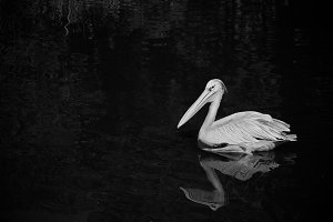 Black and White #5 - Pelican