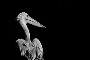 Black and White #6 - Pelican