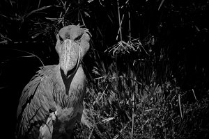 Black and White #7 - Shoebill