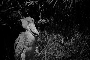 Black and White #8 - Shoebill