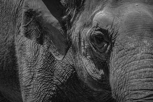 Black and White #14 - Elephant