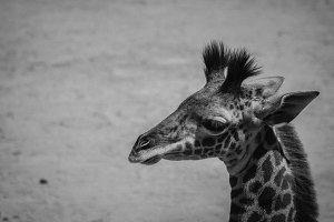 Black and White #16 - Giraffe