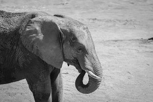Black and White #15 - Elephant