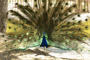 Male peacock with outstretched wings