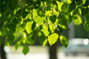 Leaves of linden tree lit by sun
