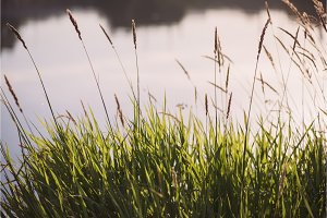 grass sedge on the background of the