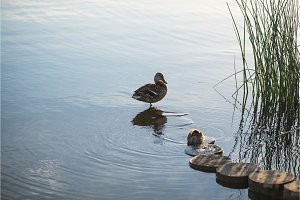 Duck and duckling in the morning
