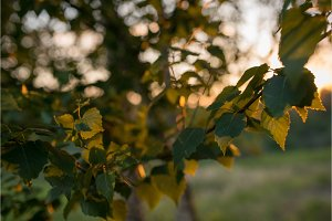 Leaves of birch tree lit thorough by