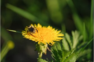 bee on the orange dandelion flower
