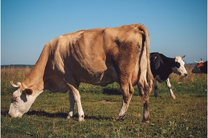 Cows grazing on green meadow at