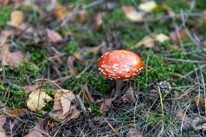 Poisonous red toadstool