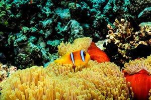 Clowfish in its anemone