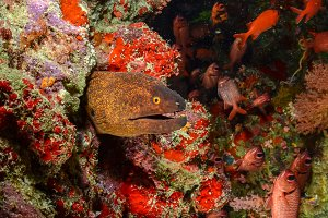 Moray eel with soldierfish