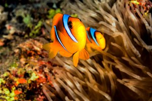 A pair of clownfish