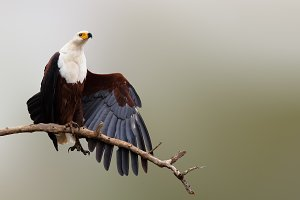 Fish eagle strecthing