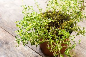 Pot with thyme plant