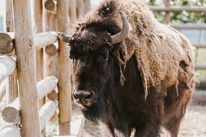 close up view of wild buffalo at zoo