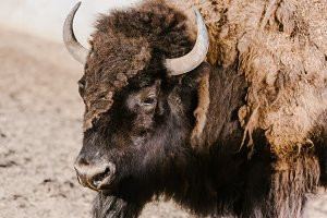 close up view of wild bison at zoo