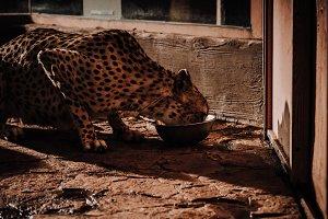 close up view of cheetah animal eati