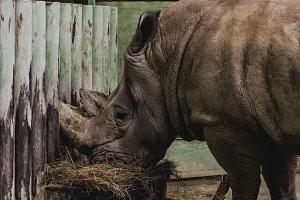 close up view of safari rhino eating