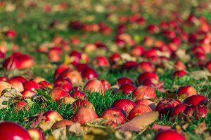 Red apples fallen on the green grass