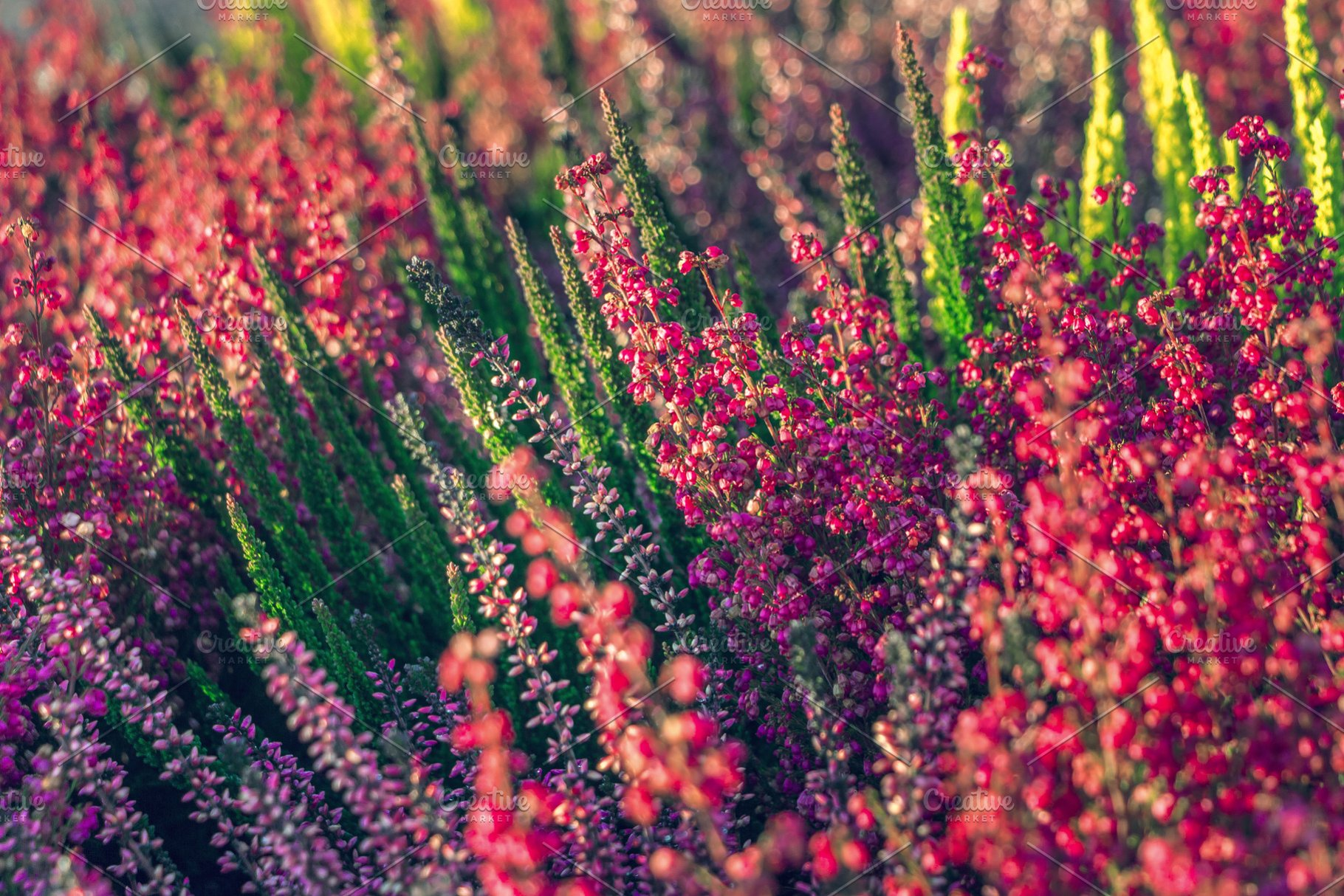 Ganz und zu Extrem Calluna vulgaris or common heather. ~ Nature Photos ~ Creative Market #QM_41