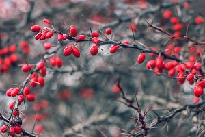 Red berries of barberry tree.