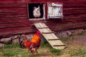 Walking rooster in a rural yard.
