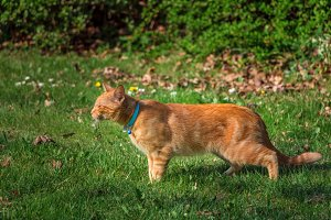 Cute ginger tabby cat with a collar.