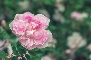 Single pink rose flower.