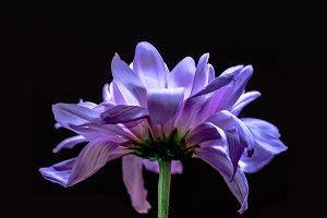 close up of blooming violet flower,