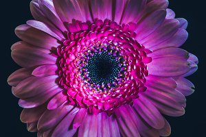 top view of violet gerbera flower, i