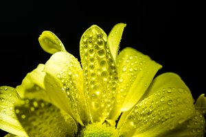 close up of yellow daisy flower with
