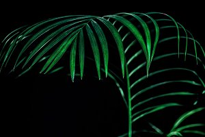green tropical palm leaf, isolated o