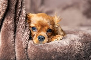 Cute puppy lying on the blanket