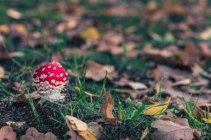 A small amanita muscaria mushroom.