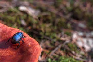 Dor beetle on a mushroom.