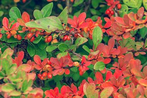 Fruits,leaves of ornamental barberry