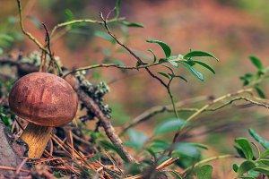 Forest mushroom Boletus edulis