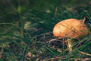 Suillus - edible mushroom.