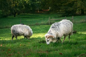Two sheep are grazing on a meadow
