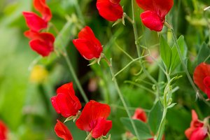 Bunch of red sweet peas blossom