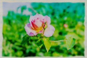 A pale pink rose watercolor